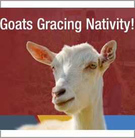 Goats at Nativity copy
